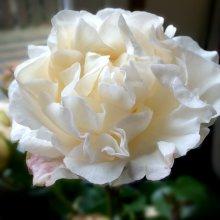 Video of the Day — Flower power: Phantom Rose inspires one-off Rolls-Royce